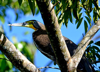 Bare throated tiger heron