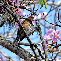 Black bill thrush