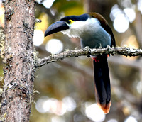 Black billed mountain toucan
