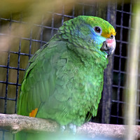 Blue cheeked amazon parrot