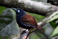 Chestnut backed antbird