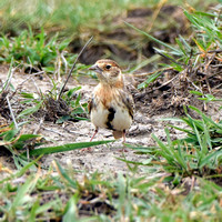 Chestnut headed sparrowlark
