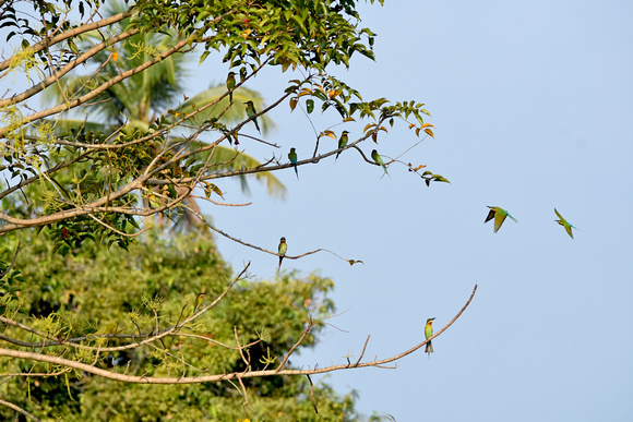 Blue tailed bee eaters, India