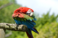 Amazon Macaw/Green winged macaw/Red and green macaw