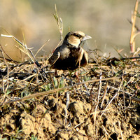 Ashy crowned sparrow lark