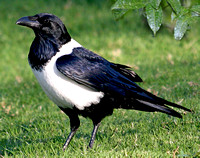 African pied crow
